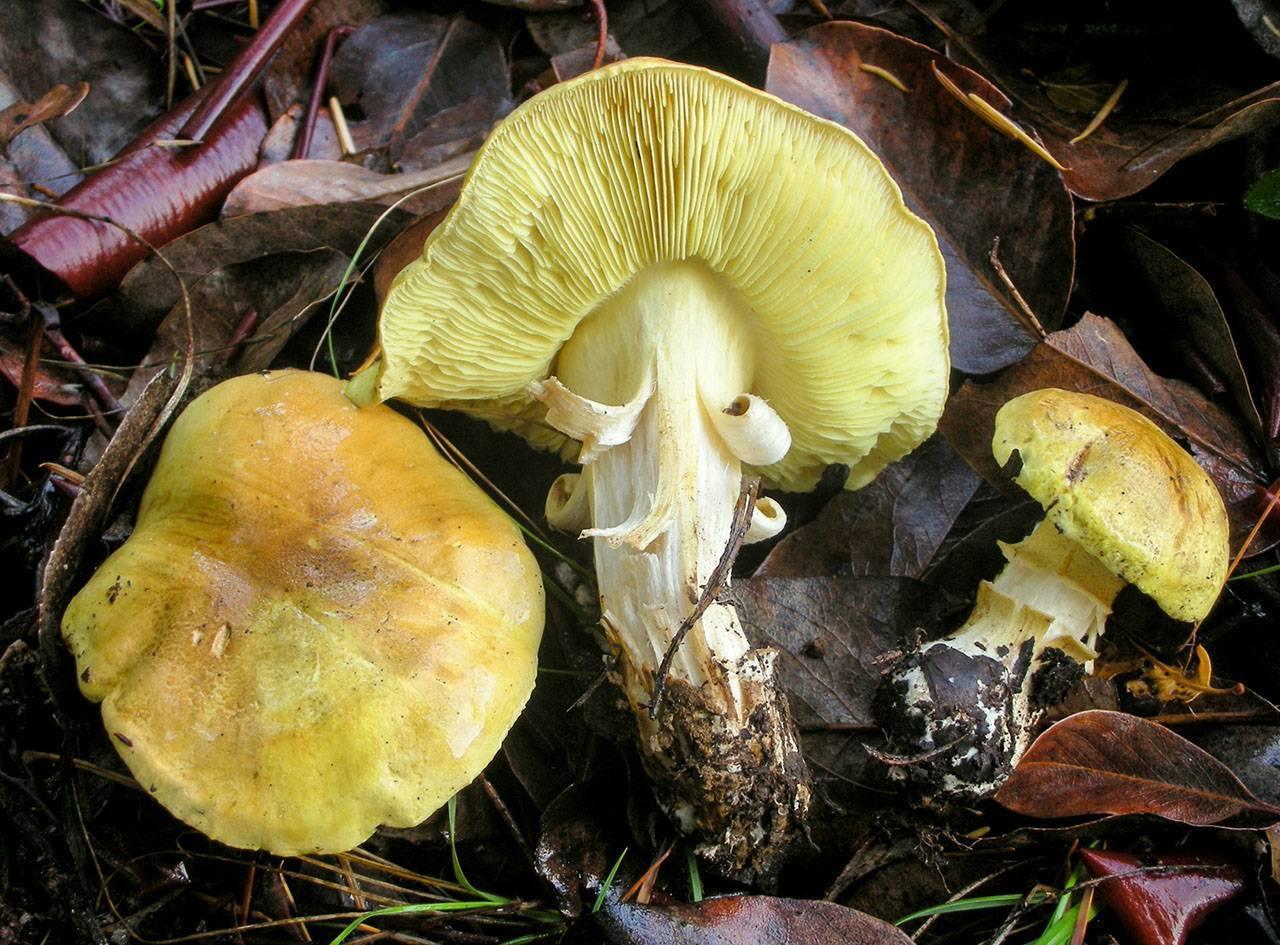 Как выглядит гриб зеленушка и его описание (+16 фото)