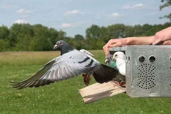Спортивные и почтовые голуби: скорость полета, как работает голубиная почта
