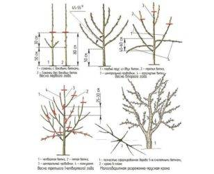Как правильно делать обрезку старых яблонь осенью: схема как омолодить старую яблоню, фото, видео для начинающих
