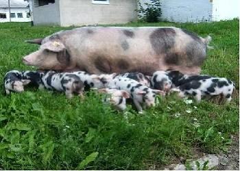 Мясо-сальная порода свиней — миргородская