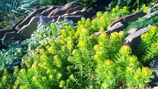 Виды садовых очитков – фото, названия и популярные сорта - огород, сад, балкон - медиаплатформа миртесен