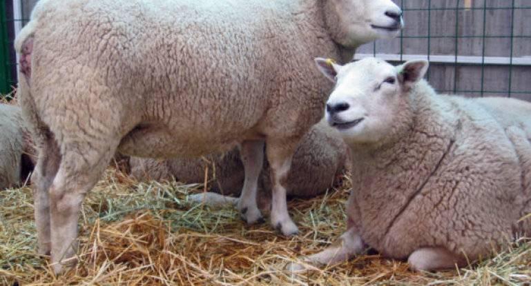 ✅ как узнать беременность овца - питомник46.рф