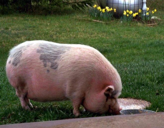 Рацион питания свиней для быстрого роста в домашнем хозяйстве