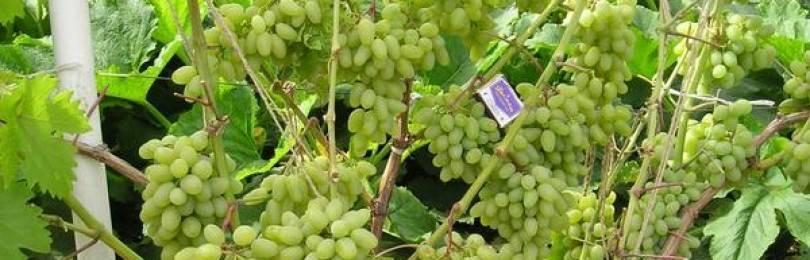 Светлана сорт винограда