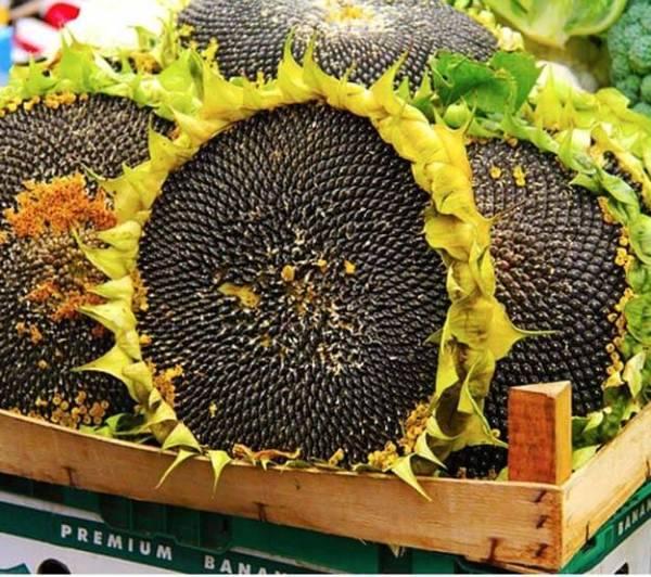 Лучшие гибриды подсолнечника, семена гибридов подсолнечника «сингента»