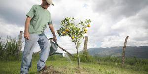 Дерево груша - посадка саженца и уход. как обрезать грушу после посадки