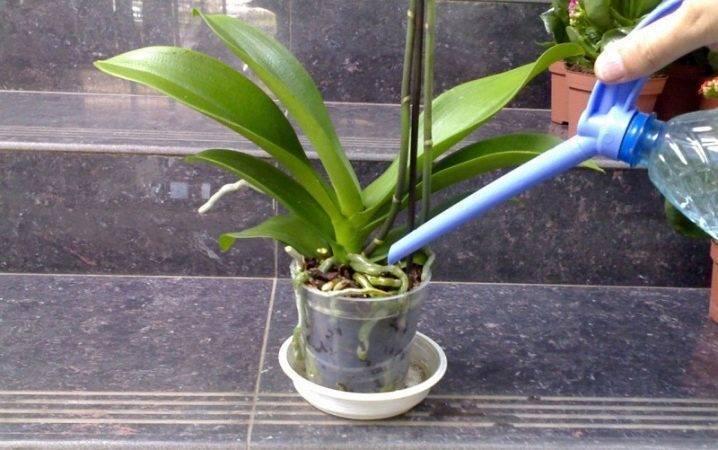 Орхидея засохла — что делать для спасения