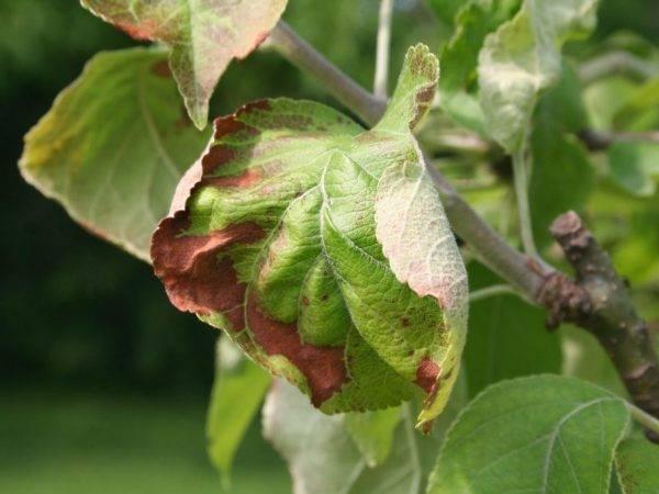 Появились коричневые пятна на листьях яблони. как лечить - расскажут профессионалы