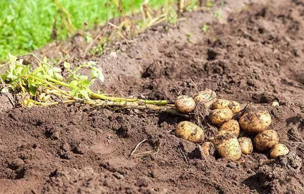 Картофель коломбо: отзывы, фото, характеристика и описание урожайного сорта, правила посадки и ухода