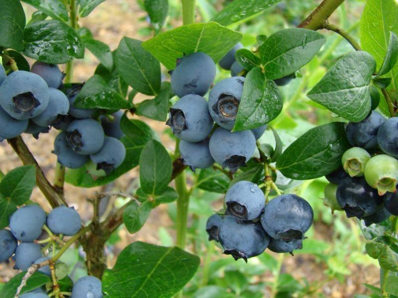Голубика: полезная ягода, «бьющая в голову»