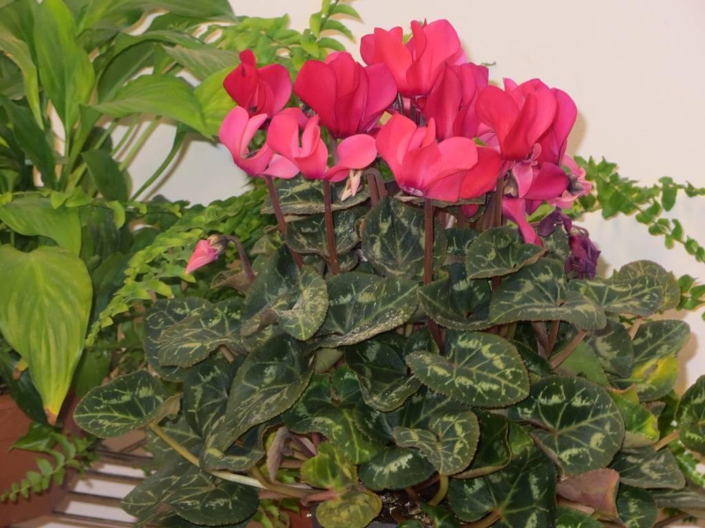 Как не погубить цветок после покупки: уход в домашних условиях за персидским и другими видами цикламенов