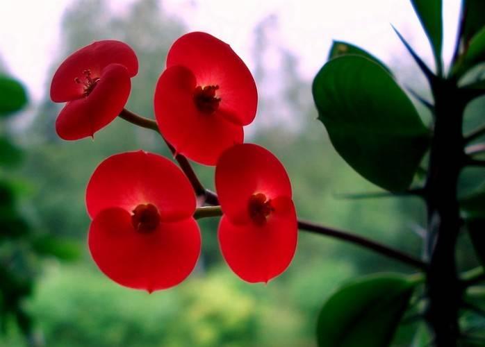 Молочай фото комнатного цветка, уход в домашних условиях, размножение