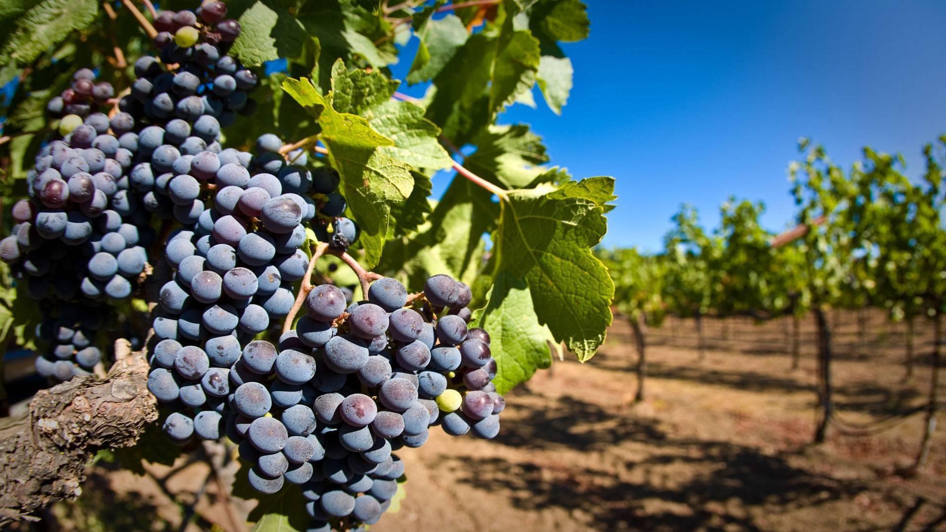Вкусный и здоровый виноград: как, чем и когда подкармливать?