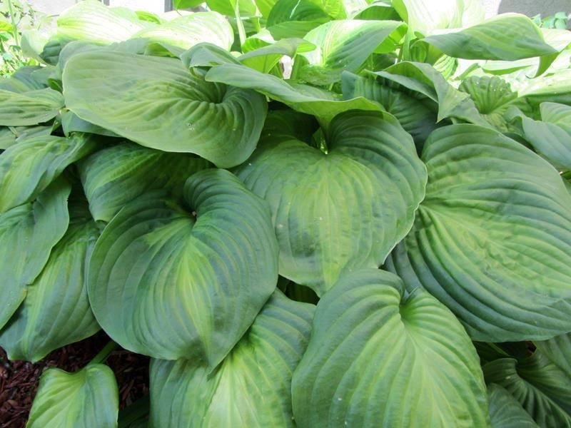 Хоста авокадо: фото