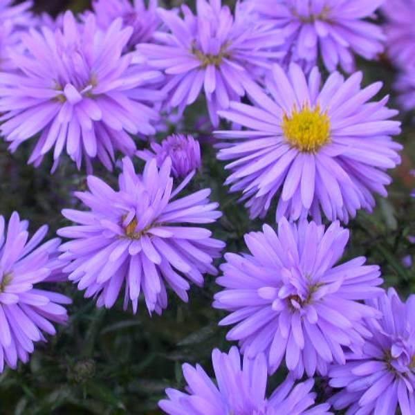 Цветы сентябринки (новобельгийские астры): посадка, размножение и уход