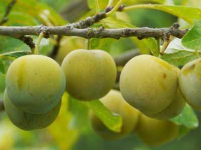Слива анжелина: описание сорта, выращивание, уход, фото