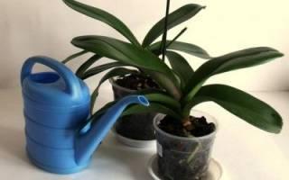 Полив орхидеи после пересадки в домашних условиях: видео о том, как это правильно делать