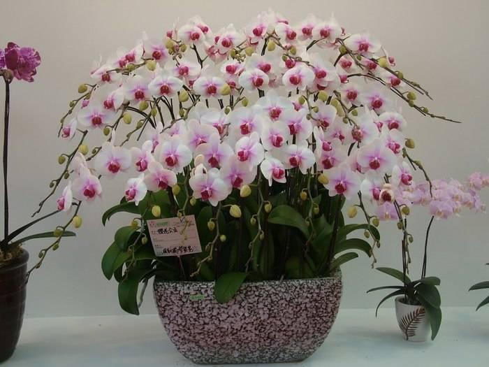 Сорта орхидей фаленопсис название с описанием, фото