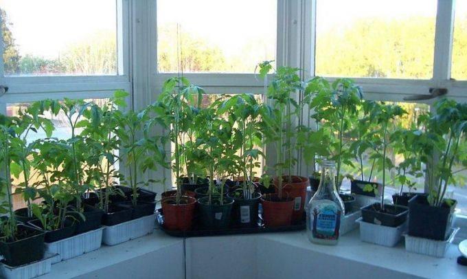 Когда сажать рассаду помидоров в сибири