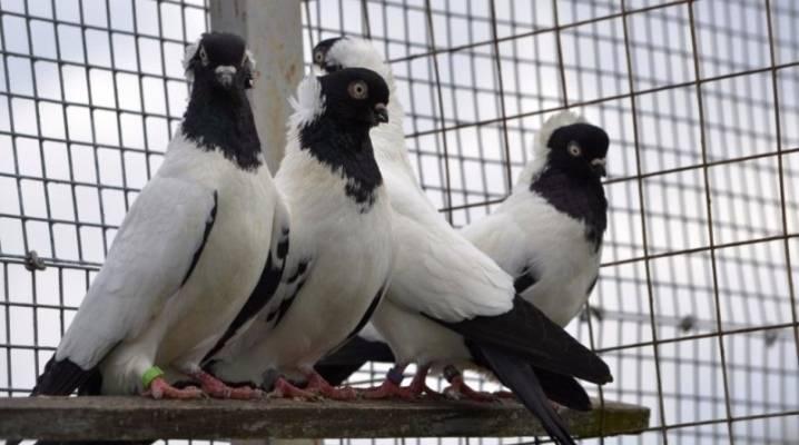 Крестовые голуби монархи, их описание, фото и видео обзор