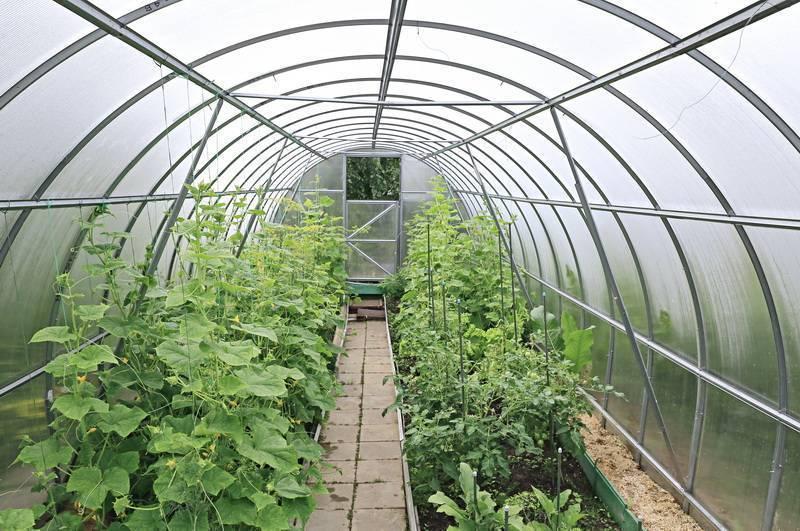 Как правильно посадить огурцы в теплице из поликарбоната: советы пошагово (видео)