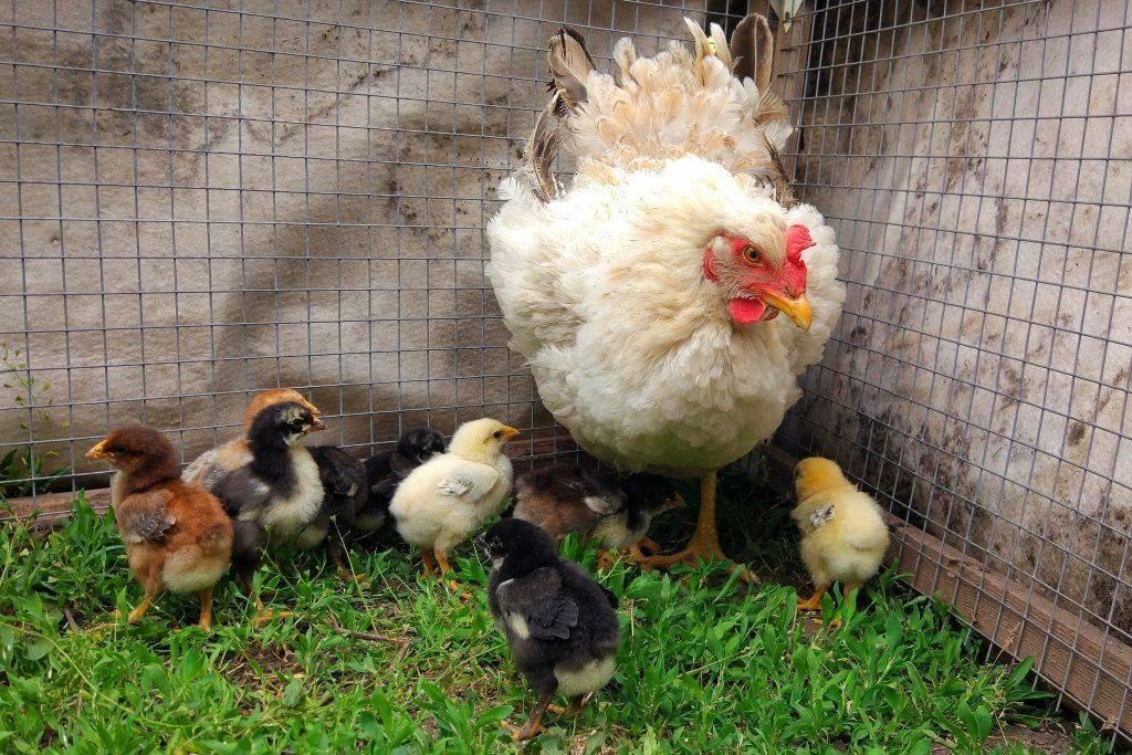 Содержание цыплят в первые дни жизни