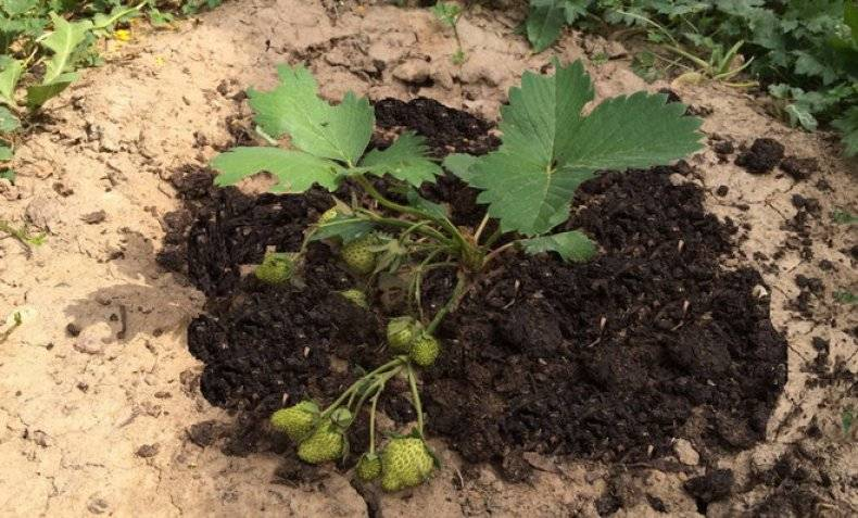 ✅ голубиный помет для огорода. голубиный помет как удобрение: применяем в огороде разными способами - живой-сад.рф