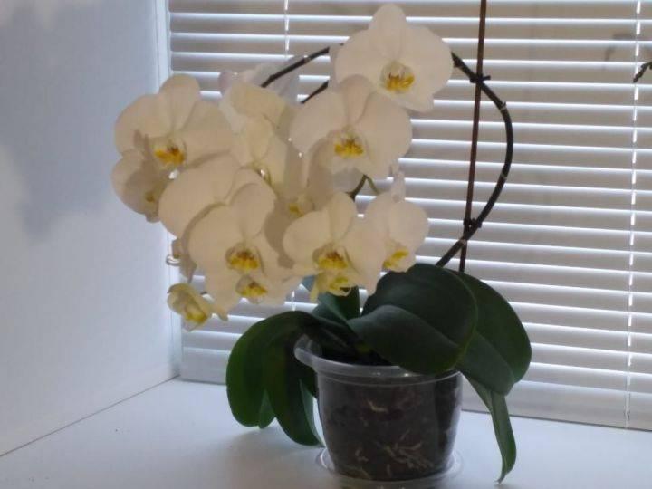 Почему у орхидеи фаленопсис сохнут корни, воздушные части, бутоны, листья и цветонос: как надо поливать, что делать и как оживить такое растение? selo.guru — интернет портал о сельском хозяйстве