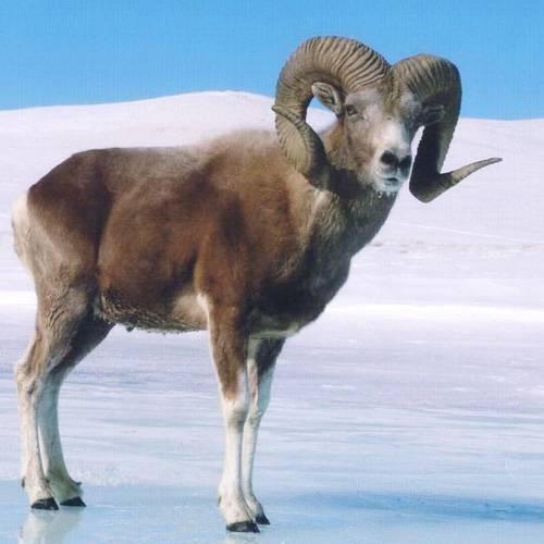 Снежный баран: происхождение и распространение вида 2021