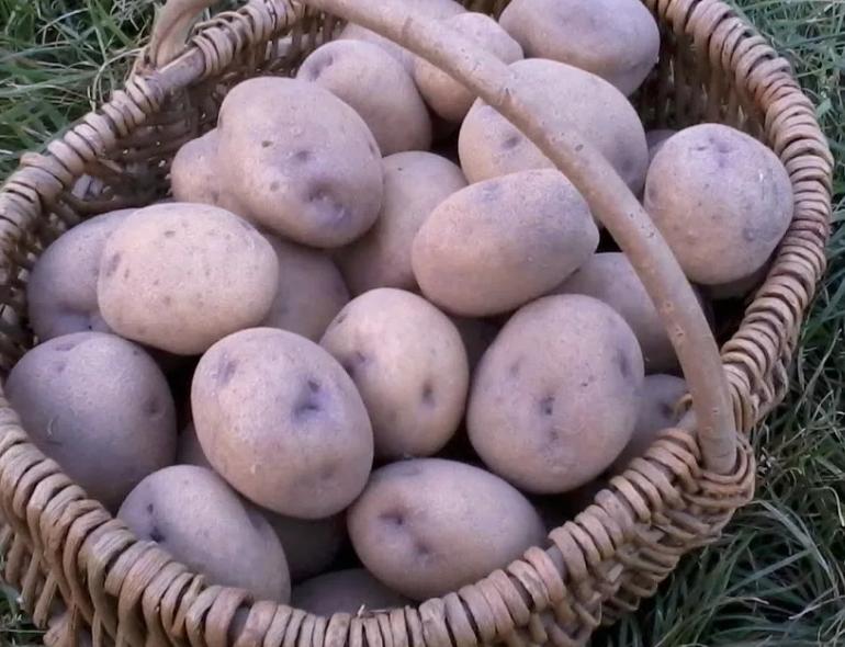 Картофель синеглазка: описание сорта и характеристика