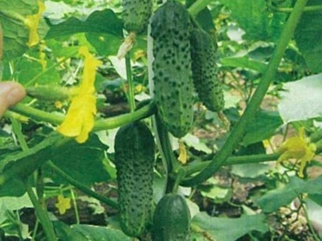 Отзывы о огурце муравей f1 - описание сорта и особенности плодов, выращивание и уход, защита от болезней и вредителей