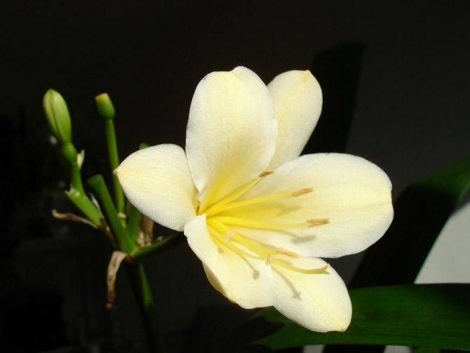 Кливия: выращивание из семян, размножение и пересадка, виды, фото