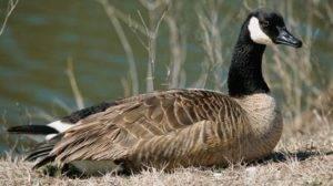 Кубанские гуси (20 фото): чем уникальны серые гуси кубанской породы? описание. когда начинают нести яйца?