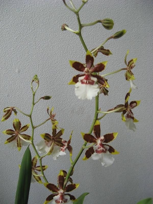 Правила ухода за орхидеей онцидиум, размножение, пересадка и фото