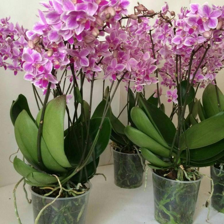 Орхидея граз: описание, отзывы, посадка и уход в домашних условиях, пересадка