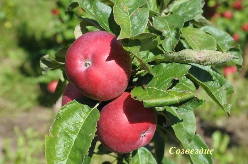 Колоновидная яблоня созвездие: описание, фото, отзывы