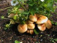 Секреты выращивания грибов на собственной даче