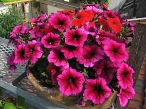 Как называется мелкая петуния: что это за мини-растение, как выглядит маленький цветок на фото, каковы разновидности сорта, чем интересен карлик темно-лососевый? selo.guru — интернет портал о сельском хозяйстве