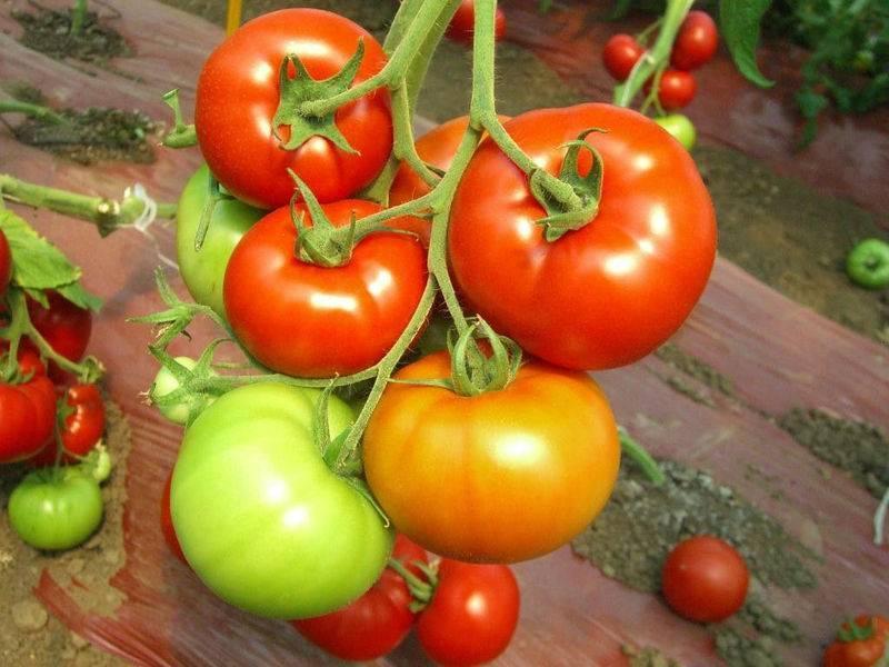 Томат красным красно f1 - описание и выращивание