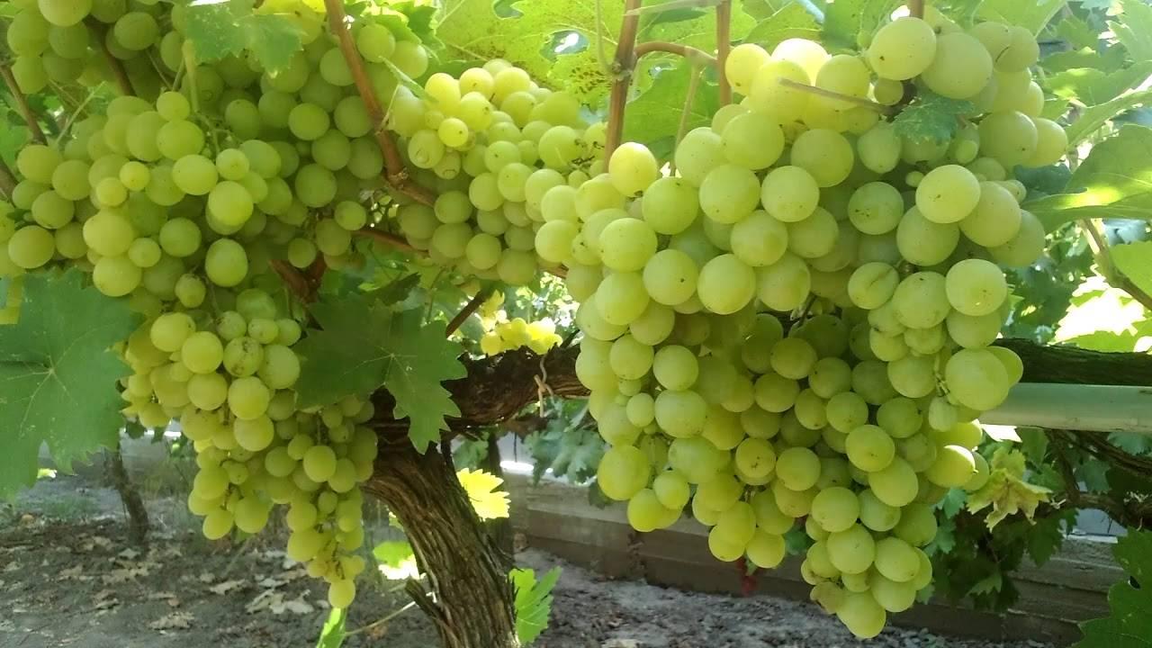 Виноград «кеша»: описание сорта, фото и отзывы