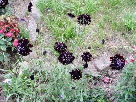 Скабиоза: посадка и уход, фото, размножение и выращивание сорта в открытом грунте, сочетание в ландшафтном дизайне