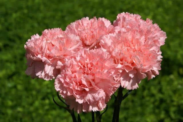 Гвоздика перистая (57 фото): посадка садовой махровой многолетней гвоздики, уход за травянистыми растениями для открытого грунта, angel of hope и angel of virtue, другие сорта