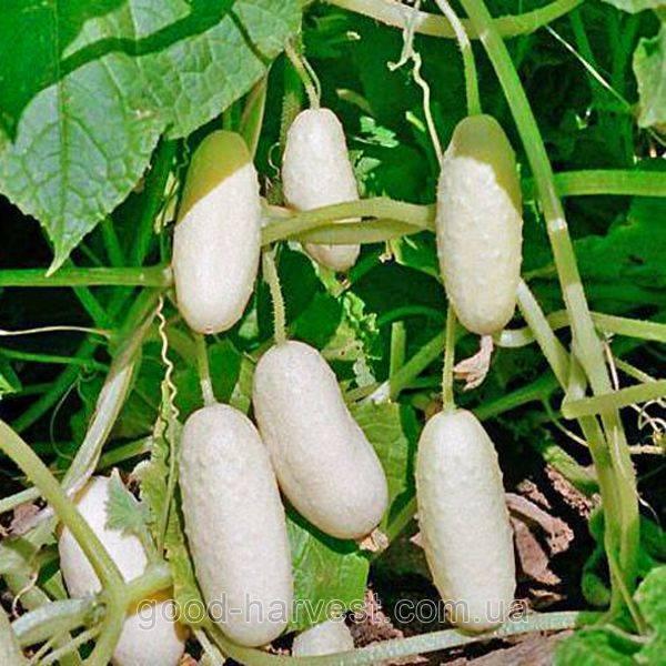 Огурец белый ангел f1: отзывы и описание сорта семян, посадка и уход, фото растения