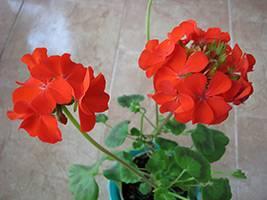 Пеларгония зональная: как выращивать в саду, сорта и фото на supersadovnik.ru