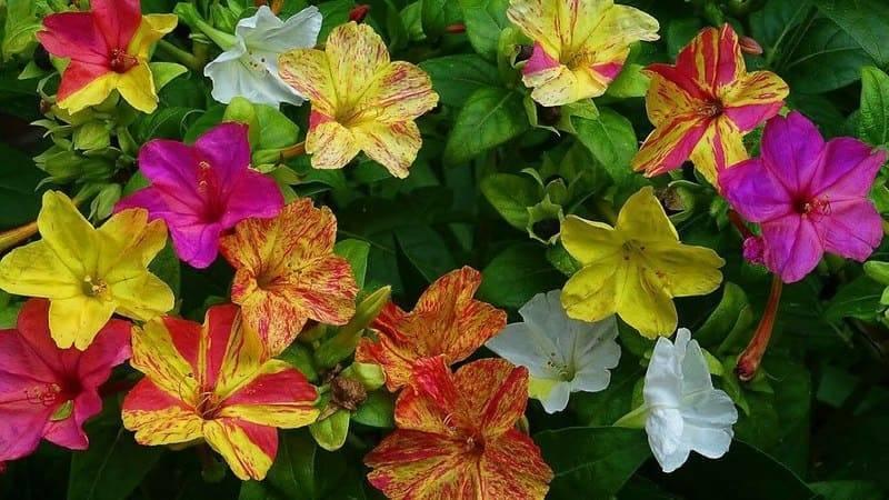 Мирабилис: посадка и уход, выращивание из семян