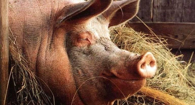 Сколько весит свинья: таблица по месяцам и размерам