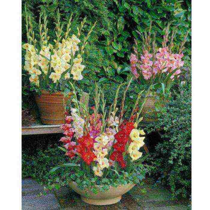 Гладиолусы в открытом грунте: полная инструкция по выращиванию