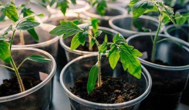 Дерево с томатами. как сажать рассаду, чтобы получить добрый урожай | дача | аиф красноярск