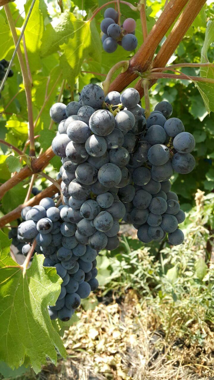 Технический сорт винограда — «левокумский»