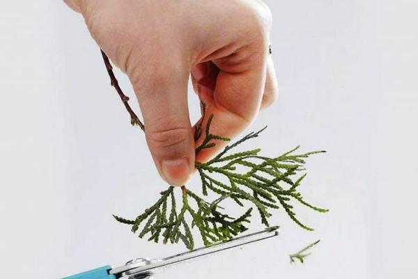Выращивание туи из семени: правила посадки и ухода в домашних условиях